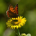 Small Copper Butterfly ?