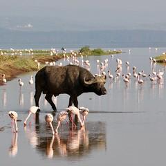 Buffalo crosses a stream