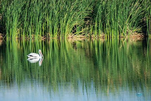 pelican hendersonbirdviewingpreserve birdpreserve lasvegasnature greenpond reeds