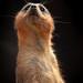 Meerkat-6862