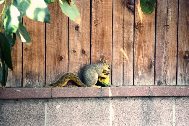 squirrel on fense