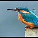 Kingfisher 2