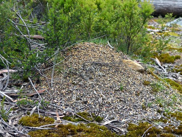 Nest of jackjumper ants, perhaps mountain jackjumper