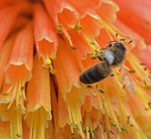 honey bee on Kniphofia