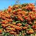 Firethorn Berries ..
