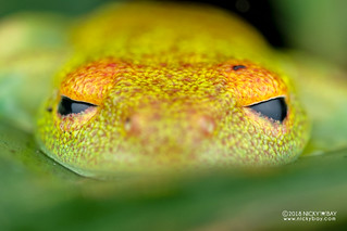 Green bright-eyed frog (Boophis viridis) - DSC_0574