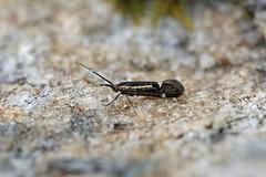 Oecophoridae