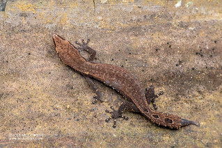 Madagascar clawless gecko (Ebenavia inunguis) - DSC_2481