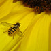 Hover Fly:     255/365