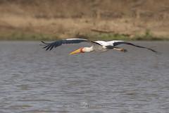 Afrikaanse nimmerzat - Mycteria ibis