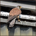 Kestrel (image 2 of 3) by Full Moon Images