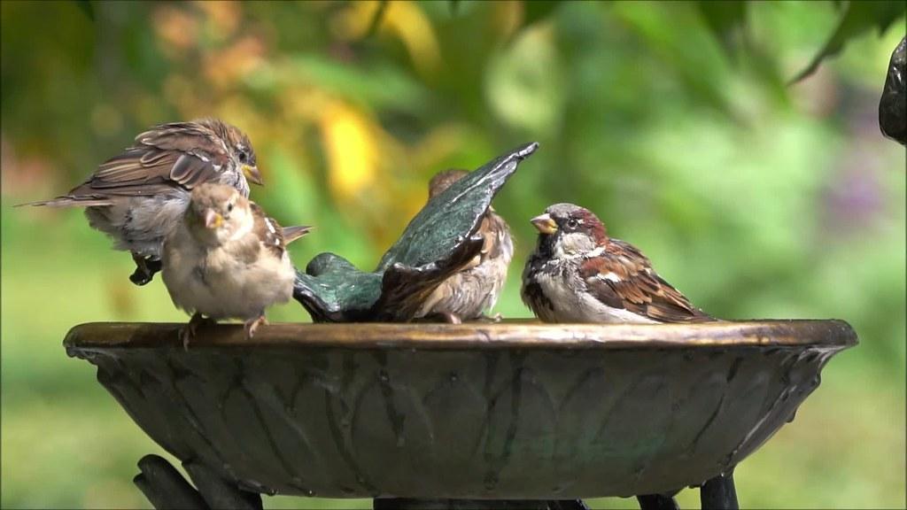 Bird Bath Slow Motion 082518 Clip 800007475