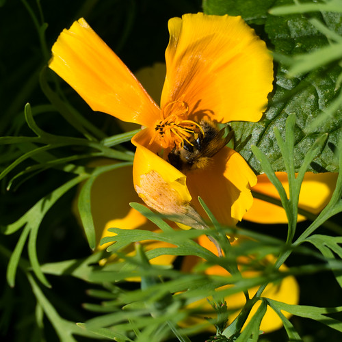 Bumblebee on Californian poppy