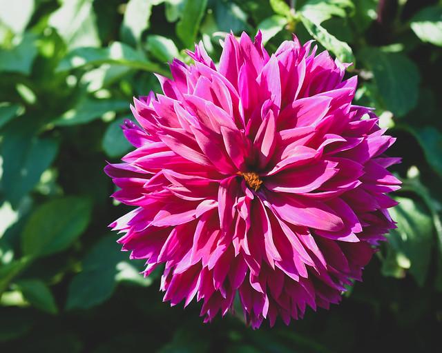 Minnesota Landscape Arboretum 9/8/18 #flowers, Fujifilm X-T2, XF60mmF2.4 R Macro