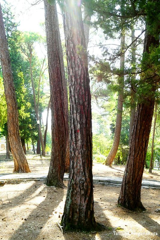 Сосны в тиватском парке