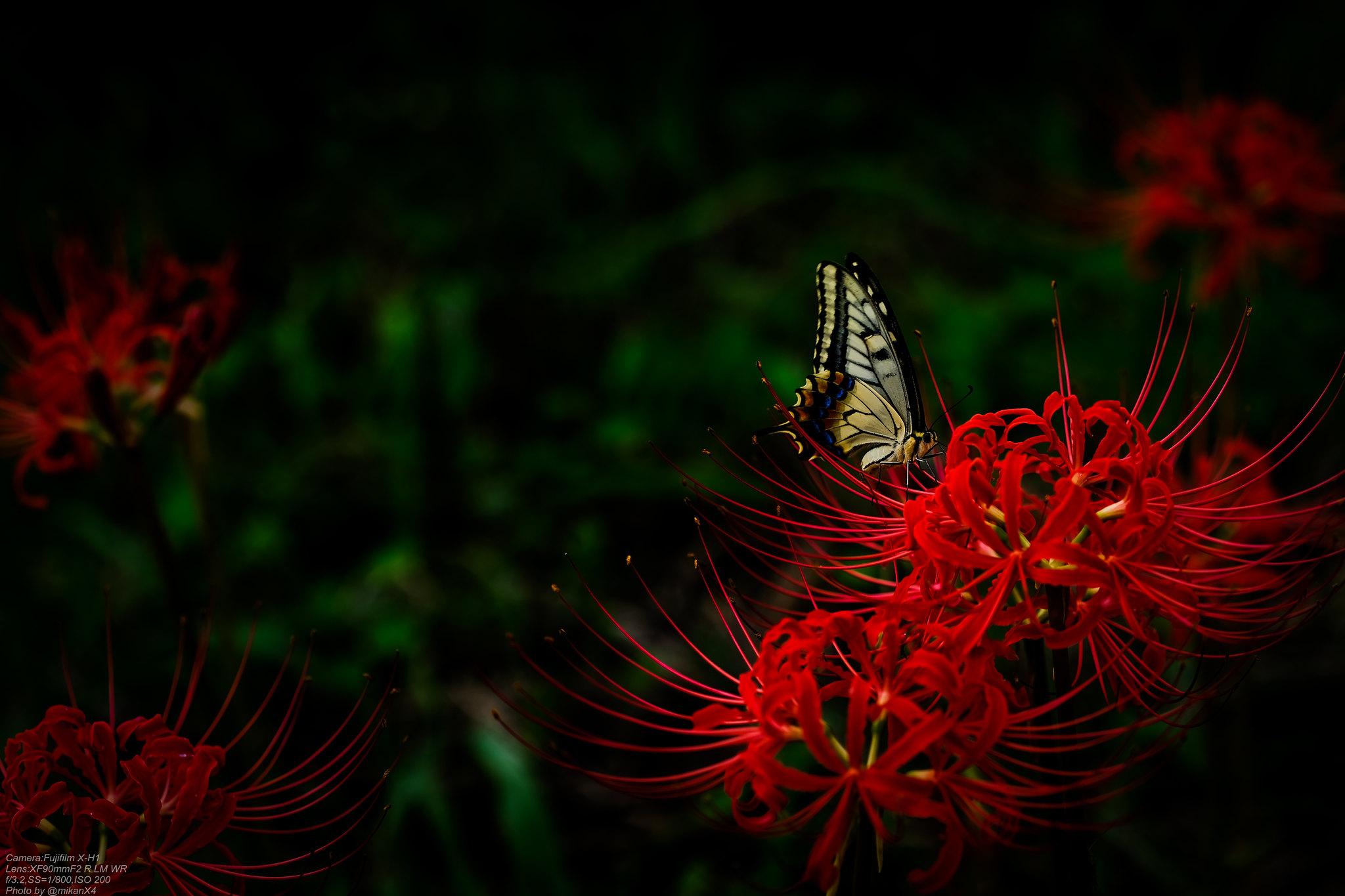 黒蝶彼岸花