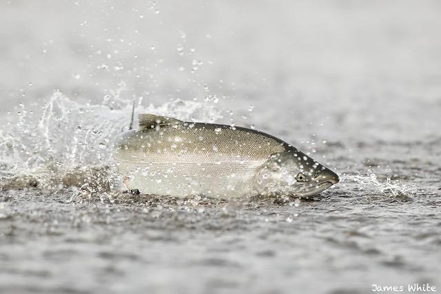 Silver salmon, Canon EOS-1D X MARK II, Canon EF 600mm f/4.0L IS II USM