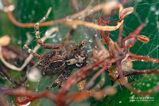 Nursery web spider (Pisauridae) - DSC_0593