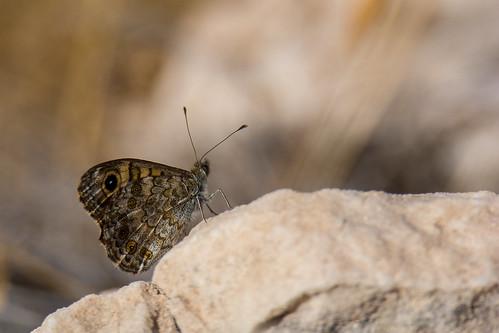 Wall brown - Lasiommata megera - Argusvlinder