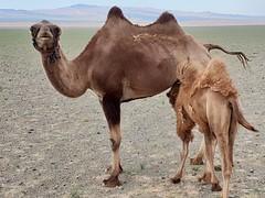 Bactrian camels in the Gobi Desert, Mongolia (18)