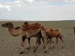 Bactrian camels in the Gobi Desert, Mongolia (19)