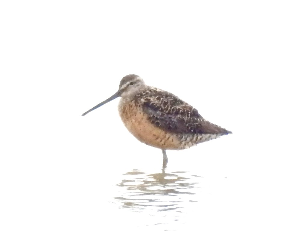 Long-billed Dowitcher?