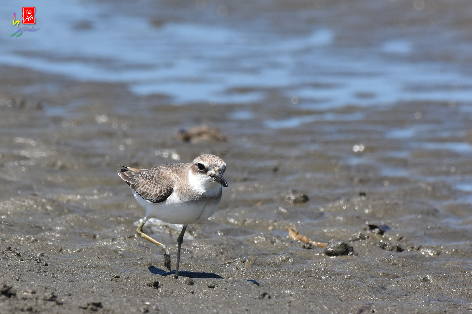 Greater_Sand_Plover_3057