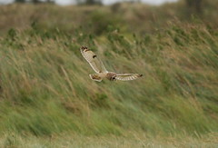SEO. Gibraltar Point NNR. Lincs.