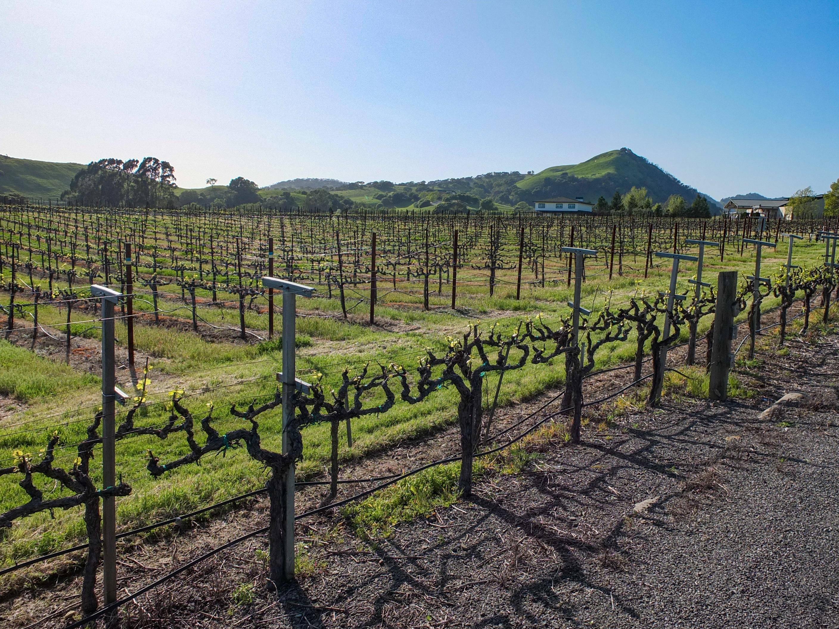 Napa Valley vineyard on the side of a road. Photo taken by Fred Hsu on April 8, 2018.
