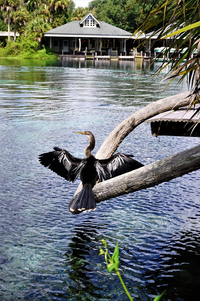 Anhinga at Silver Springs State Park, Ocala, Fla., Aug. 2017.