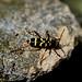 Wasp Beetle (Clytus arietis)