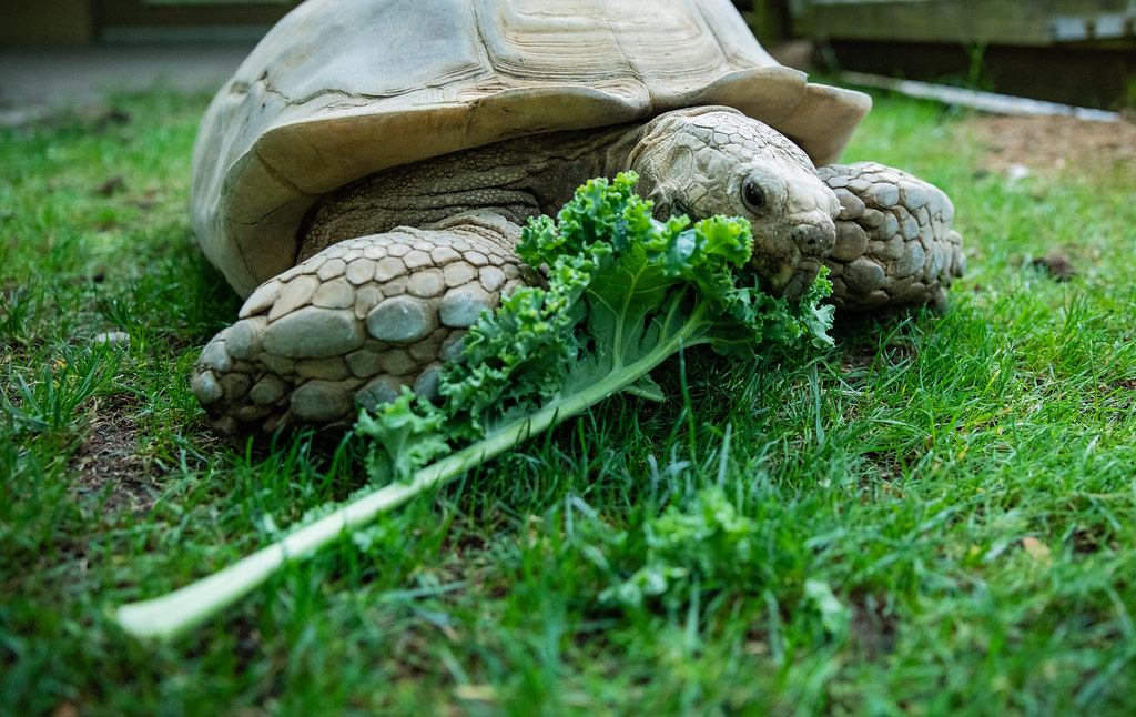 African Spurred Tortoise_23