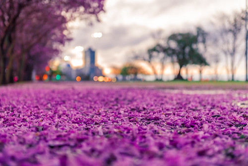 bokeh desenfoque sunset twilight costanera rosario argentina purple rosa pink atardecer lapachos primavera santafeprovince ar