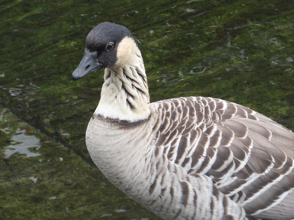 Hawaiian Goose 7/28/18