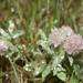 Trifolium arvense 1130970