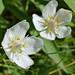 Flower of 'Grass of Parnassus'