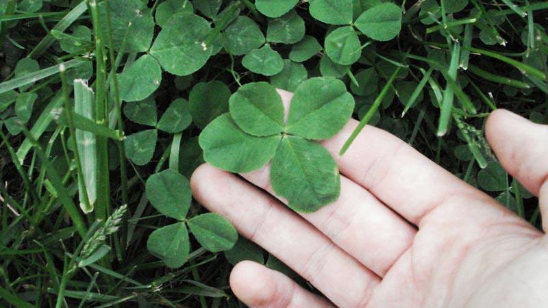 Daun clover simbol keberuntungan.