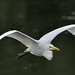 Great White Egret by Full Moon Images
