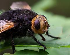 Echinomyie grosse (Tachina grossa), Le Collet-de-Dèze, Lozère, France