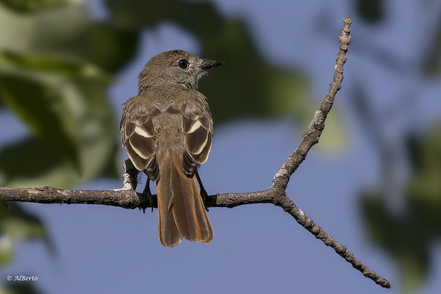Great Crested Flycatcher / Tyran huppé