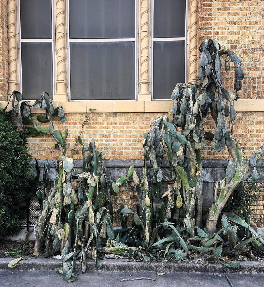 Decomposing cactus in an urban setting