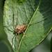 Harvestman sp. - Paroligolophus agrestis