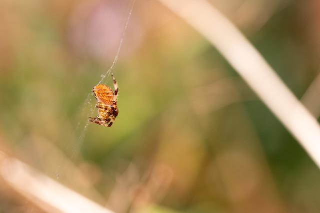 Orange Garden Spider
