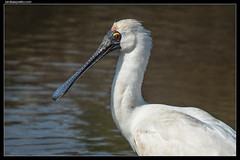 Royal Spoonbill—Portrait