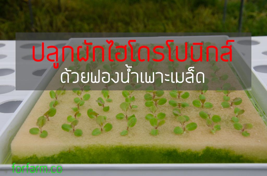 ปลูกผักไฮโดรโปนิกส์ ด้วยฟองน้ำ