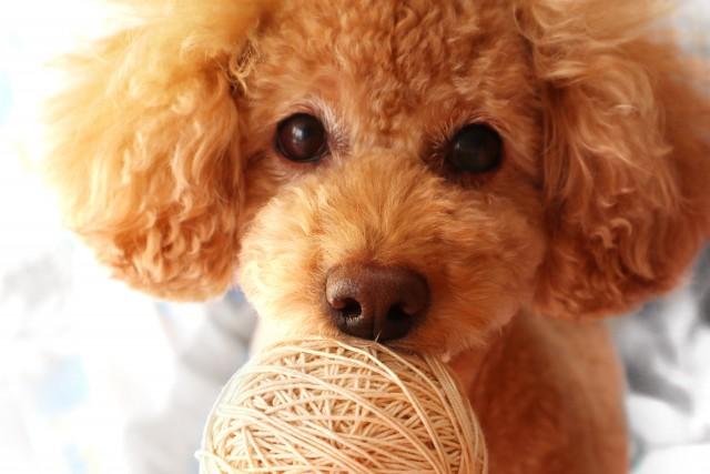 犬がチョコレートや包み紙を食べてしまったときや …