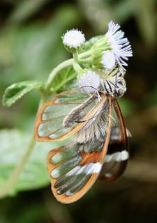Greta nero (Nymphalidae: Danainae: Ithomiini)