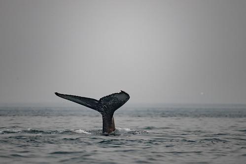 Rorqual à bosse / Humpback Whale