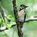Woodpecker Watchtree Nature Reserve F00355 D210bob DSC_3833