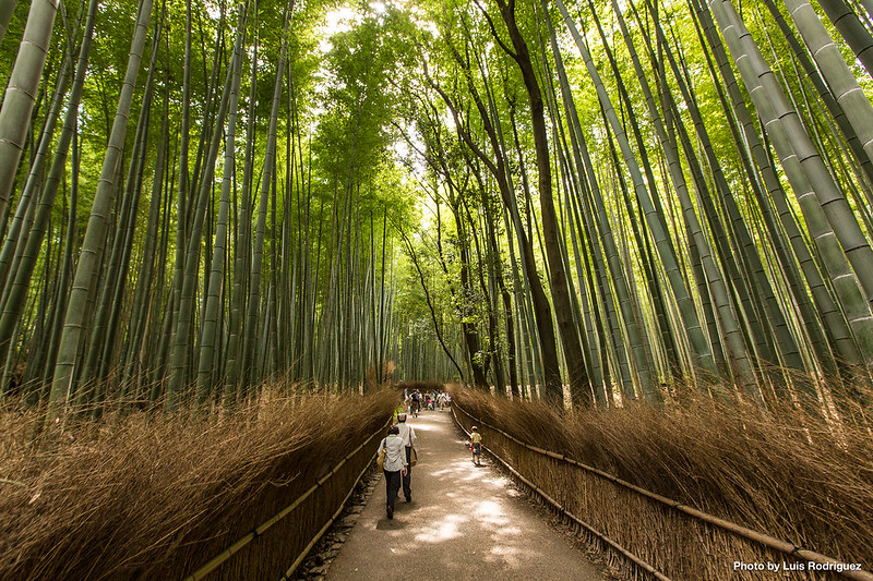 El bosque de bambú es uno de los lugares más concurridos de Arashiyama
